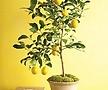 봄신상 레몬나무♥노란열매 열리는 오리지널 레몬트리♥진짜 레몬 레몬나무 시트러스