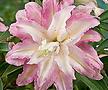 크리스탈 트리릴리 모네♥겹꽃 나무백합 구근♥백합 나무 유럽직수입 수입 릴리