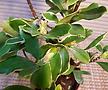 칼라천리향(향기가  온집안을 기ㅡ득해지는 아이에요)ㅇ