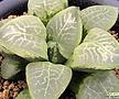 난무(亂舞) (Haworthia cv. Ranbu, natural offset)