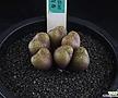 XP2414-Conophytum roodiae 루디아에 6두