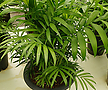테이블야자-1급공기정화식물