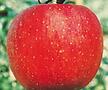 청송꿀사과 왜성♥미야미 애플♥청송 꿀사과♥화분째 배송♥사과 사과나무 사과 나무