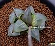 바디아 메리 소묘 (Haworthia badia cv. Mary, offset)