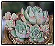 핑크엣지군생(자연,목대)