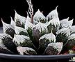 백제성(白帝城)-4-15-No.얼음같이 얼어붙어있는창이 특징인 백제성 품종입니다.