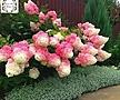 패닉수국 핑키윙키♥유럽 직수입♥한번 보면 반해서 패닉상태에 빠지는 꽃♥패닉 수국 핑크