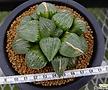 컴프토실생 (Haworthia comptoniana hyb.)