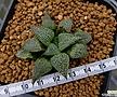 에스터후이제니(Haworthiasplendensesterhuizenii,aselectedclone,ex.Japan)