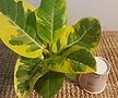황금뱅갈고무나무(색상이 금색무늬가 독특한아이에요)
