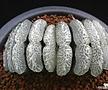 옥선 단지리 (Haworthia truncata Dahnjiri)(자구출신 소묘)