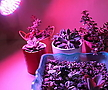 다육이월동준비♥100W식물생장LED♥FullSpectrum♥고출력프로페셔널용♥식물공장등급초강력인공태양♥다육이등다육