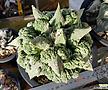 접목콜리플라워(Ariocarpusretususcv.Cauliflower)
