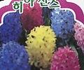 히야신스(빨강,분홍,흰색,보라)