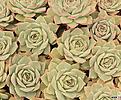pinktips(随机)|Echeveria Pink Tips