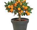 클레멘타인橙色신품종♥시트러스♥수량한정|