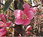 메이폴 미니사과나무 묘목♥왜성사과♥메이폴 사과나무 매이폴 사과 메이폴사과