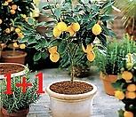[1+1]스위트 메이어 레몬나무 기획상품