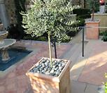 스프레드 올리브나무♥유럽 직수입♥토피어리 타입♥참감람나무