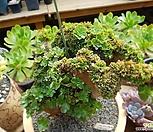 토오즈缀化(香炉盘중최고의名品)|Aeonium canariense