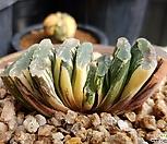 玉扇錦(최상급)|Haworthia truncata variegated