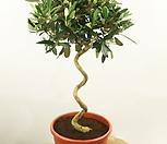 [집들이 선물]스프링 올리브나무 NO.1♥유럽 직수입♥토피어리♥참감람나무♥올리브 스크류 스파이럴 분재 수입