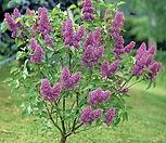 퍼퓸 카사블랑카 라일락나무 외목수형♥라일락 나무