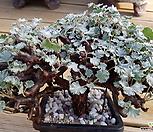 미라블왕大品(아프리카식물)|