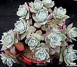 丸葉仙女杯法瑞诺莎15头群生(뿌리있고桩좋아요)|Dudleya farinosa Bluff Lettuce
