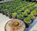 글란드(香炉盘신품종)随机♡老庄사진참고하세요|Aeonium canariense