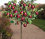미니사과 루비에스 No.2♥왜성사과♥당도높은 신품종 사과나무♥화분째 배송상품♥미니 사과 애기사과