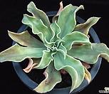 라일라스 루티아 (Echeveria cv. Lilas Lutea, offset)