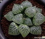 수정(水晶)컴프토 No.101 자구 (Haworthia comptoniana Shuisho No.101, offset)