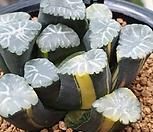 총원万象錦|Haworthia maughanii variegated
