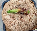 자트로파(아프리카)뿌리무