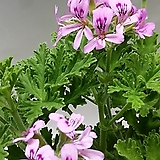 구문초-로즈제라늄(중품)|Geranium/Pelargonium