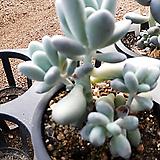 10/18월미인26|Pachyphytum oviferum Tsukibijin