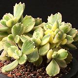 웅동자금 3407|Cotyledon tomentosa ssptomentosa