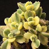 웅동자금 3412|Cotyledon tomentosa ssptomentosa