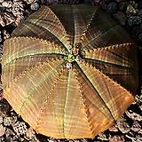 오베사 3417 - 선인장|Baseball Plant (Euphorbia obesa)