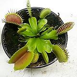 파리지옥 식충식물|