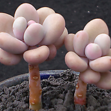 아메치스2두목대 3463|Graptopetalum amethystinum