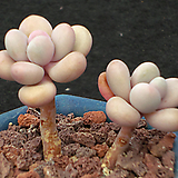 아메치스목대 3474|Graptopetalum amethystinum