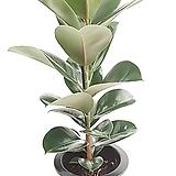 [꽃대통령]인도고무나무 공기정화식물