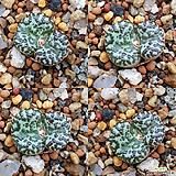 Conophytum 옵코델룸 ssp 씨앗(10립)