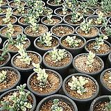 벽어연금|Corpuscularia lehmanni