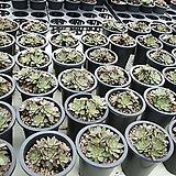 아즈타트렌시스|Echeveria longissima var aztatlensis