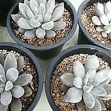 토리마넨시스 대품|Echeveria tolimanensis