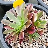 페스티발(에오니움금)|Aeonium canariense