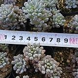 블루빈스1015|Graptopetalum pachyphyllum Bluebean